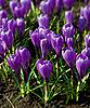 春节假期紫色番花 | 免版税照片