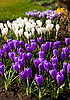 Spring holiday crocus flowers | Stock Foto