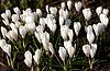 春节假期白番红花 | 免版税照片