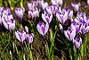 春假番花 | 免版税照片
