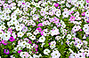 Photo 300 DPI: Field of colorful petunias
