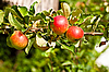 Red apples on apple tree branch | Stock Foto