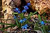 Beautiful blue snowdrops | Stock Foto