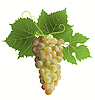 Vector clipart: white grape