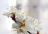樱花的花 | 免版税照片