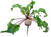 Photo 300 DPI: Beet root