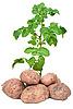 Fresh potatoes | Stock Foto