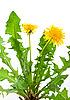 Dandelion (taraxacum officinale) | Stock Foto