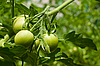 Green tomatoes | Stock Foto