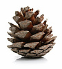 Pine cone isolated on white | Stock Foto