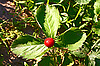 Strawberry on leaves   Stock Foto