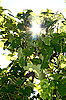 ID 3041302 | Sun lighting through the leaves of vine | High resolution stock photo | CLIPARTO