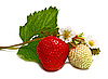 White and red strawberry and blossom on branch   Stock Foto