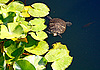 Tortoise swimming in pond | Stock Foto