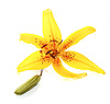 Photo 300 DPI: yellow lily