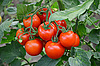 ID 3042580 | Tomatoes on branch | High resolution stock photo | CLIPARTO
