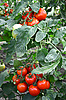 Tomatoes on branch | Stock Foto