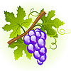 Vector clipart: Grape cluster with green leaves