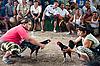 Photo 300 DPI: Cock Fighting