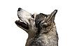 Photo 300 DPI: Siberian husky dog