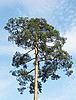 Pine-tree and sky   Stock Foto