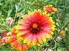 Flor amarilla roja   Foto de stock