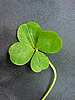 Green clover with four leaves  | Stock Foto
