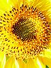 Żółty słonecznik | Stock Foto