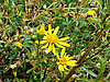 Photo 300 DPI: yellow flower tries to survive among prickles