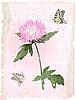 розовый цветок астры