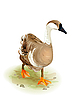 Vector clipart: Walking domestic goose. Watercolor style