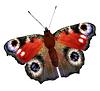 Векторный клипарт: Европейским Павлин бабочка