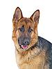 Portrait of Shepherd | Stock Foto