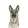 Portrait of German Shepherd | Stock Foto