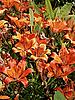 백합 꽃 | Stock Foto