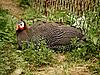 Photo 300 DPI: guinea fowl