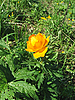 Trollius flower | Stock Foto