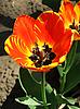Photo 300 DPI: tulip
