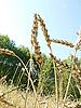 Ears of ripe wheat | Stock Foto