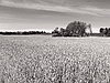 Field with wheat | Stock Foto