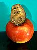 ID 3064004 | Igel auf einem Apfel | Foto mit hoher Auflösung | CLIPARTO