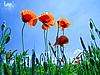 Photo 300 DPI: Red poppy flowers