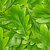 Oak leaves seamless background | Stock Foto