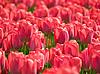 Tulipany | Stock Foto