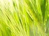 ID 3049275 | Grüne Weizenähre | Foto mit hoher Auflösung | CLIPARTO
