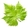 ID 3049320 | Vine leaf | High resolution stock photo | CLIPARTO