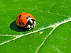 Photo 300 DPI: Ladybird on leaf