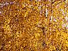 Yellow birch | Stock Foto