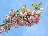 粉红色的樱花开花 | 免版税照片