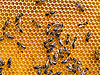 蜜蜂 | 免版税照片